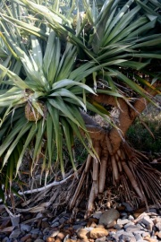 Seaside Wildflowers - BALLINA PANDANUS 5-1