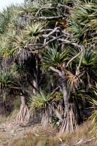 Seaside Wildflowers - BALLINA PANDANUS 7