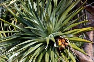 Seaside Wildflowers - BALLINA PANDANUS 8