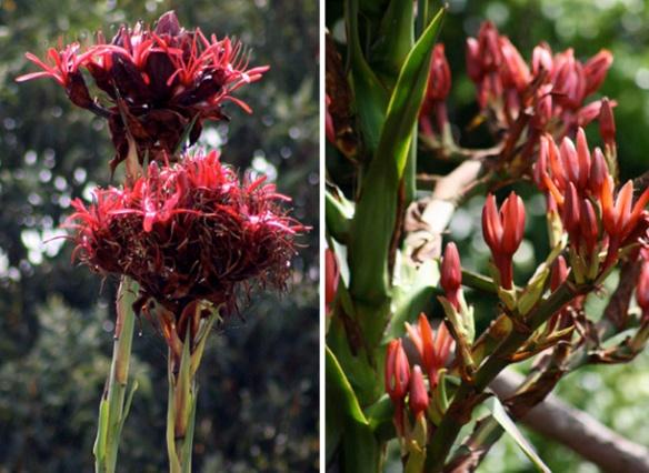 Gymea Lily & spear Lily