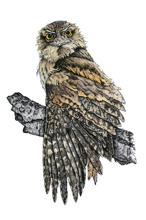 WILDLIFE ILLUSTRATION Tawny Frogmouth 2